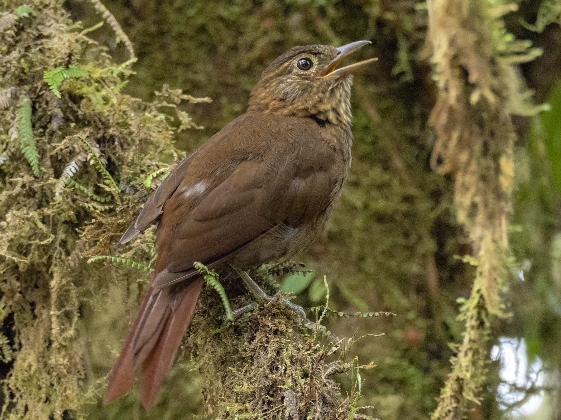 Uniform Treehunter - Andres Vasquez Noboa - Tropical Birding Tours