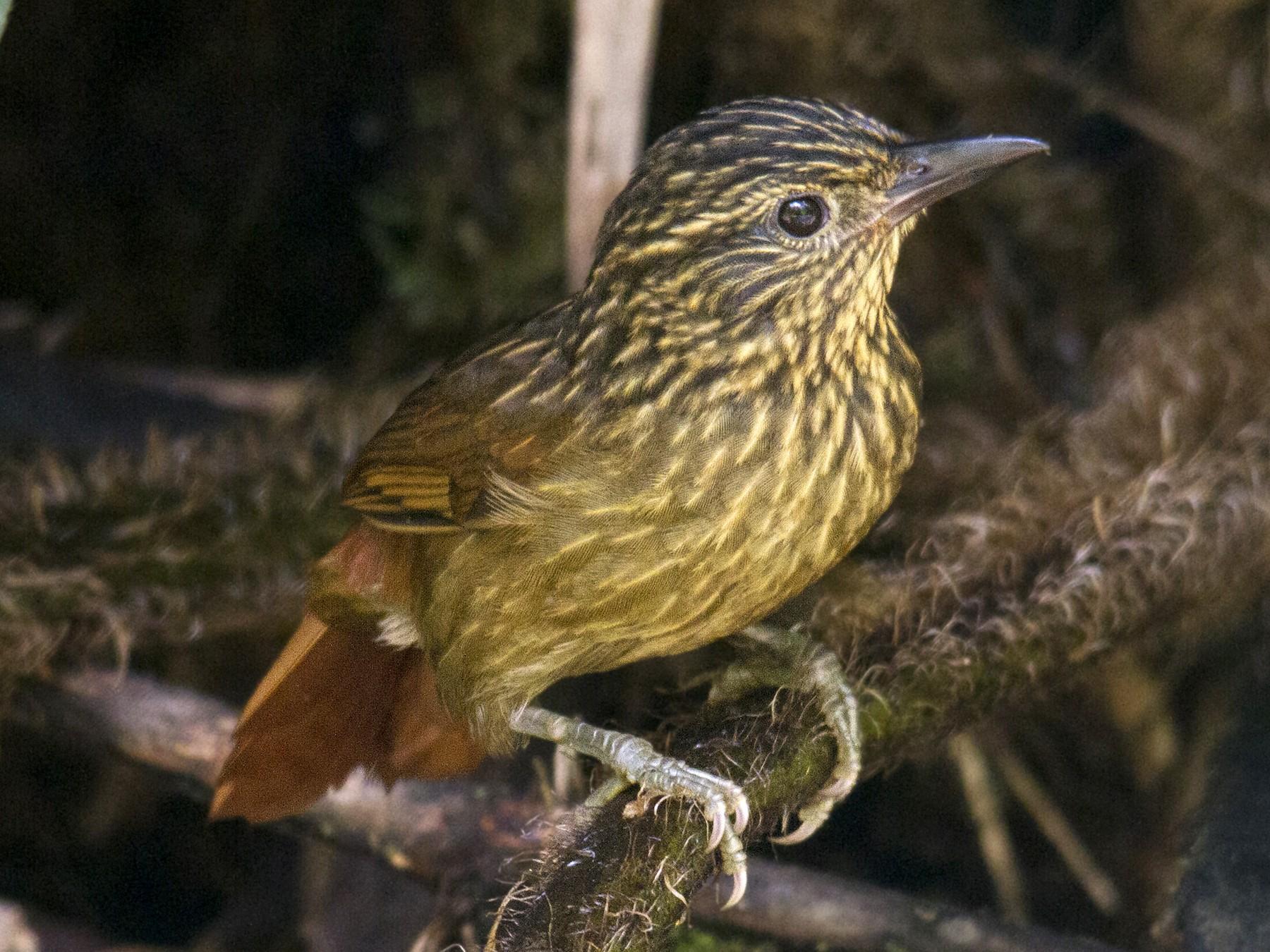 Striped Treehunter - Andres Vasquez Tropical Birding Tours
