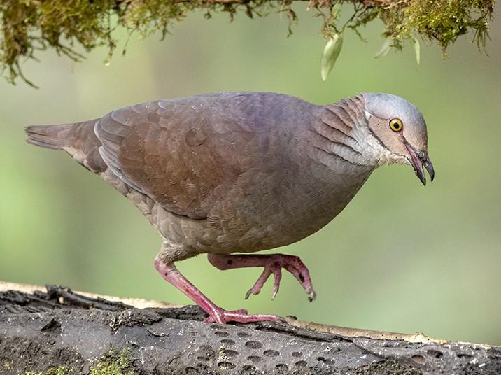 White-throated Quail-Dove - Andres Vasquez Noboa - Tropical Birding Tours