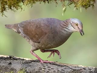 - White-throated Quail-Dove