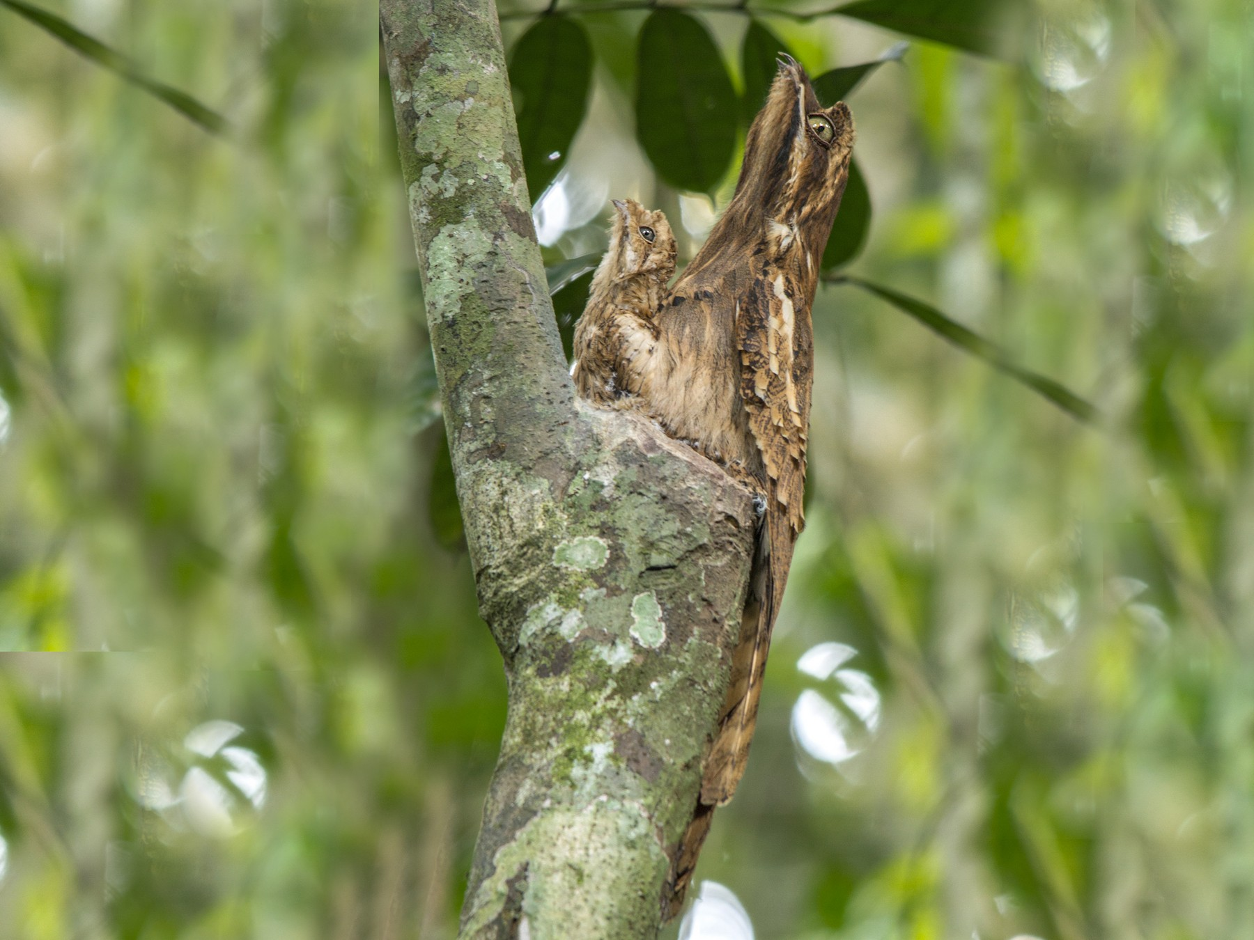 Long-tailed Potoo - Andres Vasquez Noboa - Tropical Birding Tours