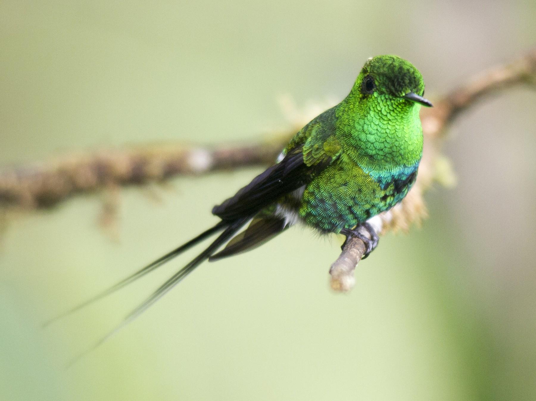 Green Thorntail - Andres Vasquez Noboa - Tropical Birding Tours