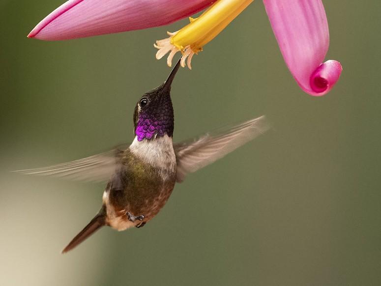Purple-throated Woodstar - Andres Vasquez Noboa - Tropical Birding Tours