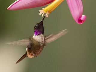 - Purple-throated Woodstar
