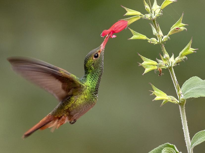 Rufous-tailed Hummingbird - Andres Vasquez