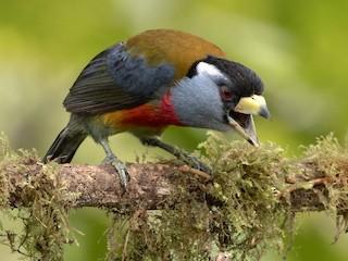 - Toucan Barbet