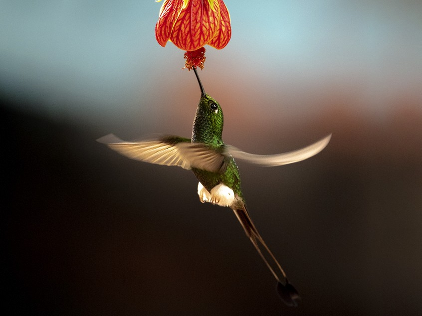 Booted Racket-tail - Andres Vasquez