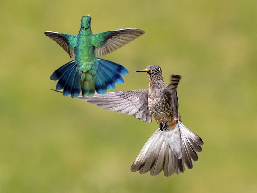 Giant Hummingbird - Andres Vasquez