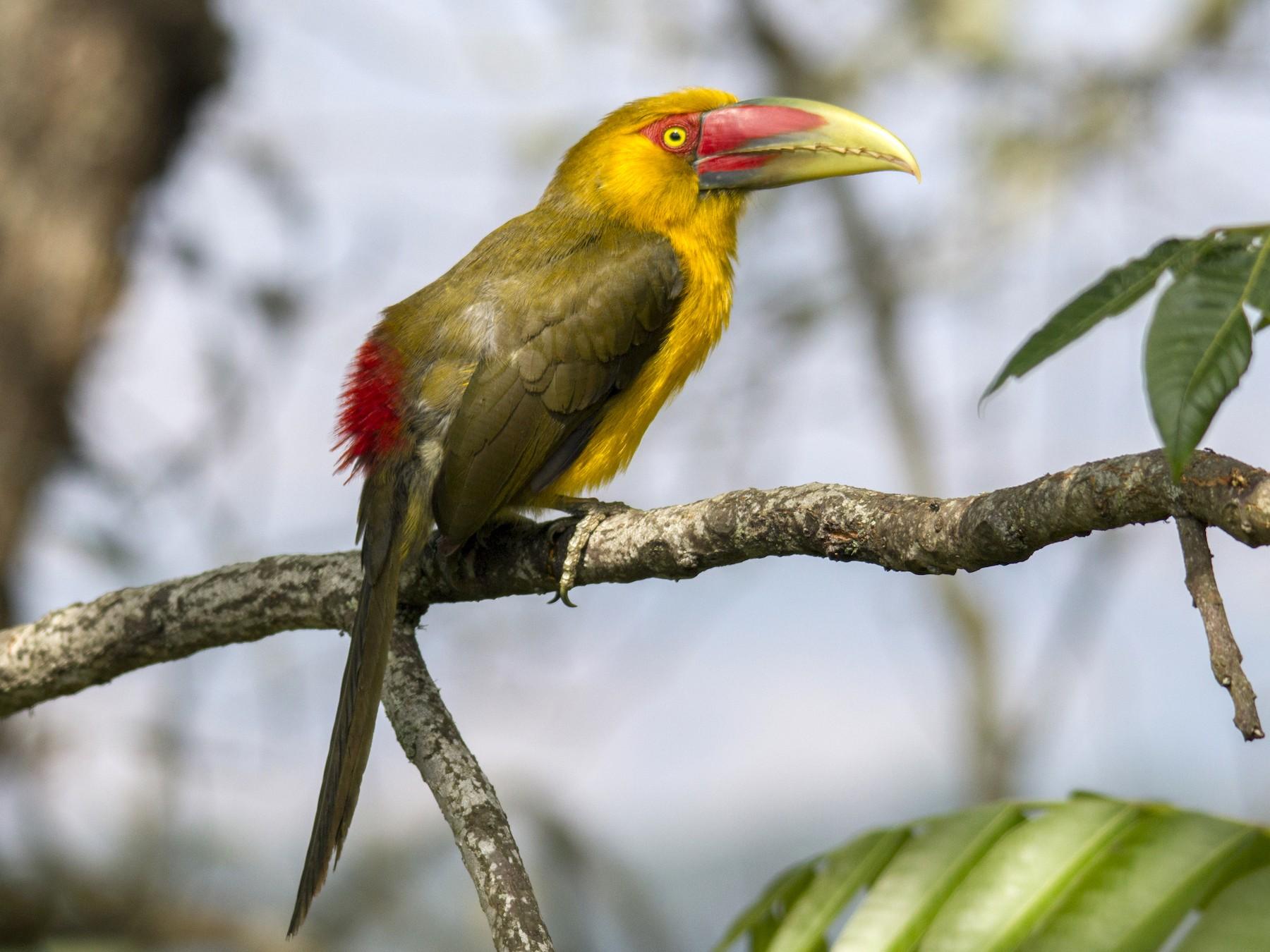 Saffron Toucanet - Andres Vasquez Tropical Birding Tours