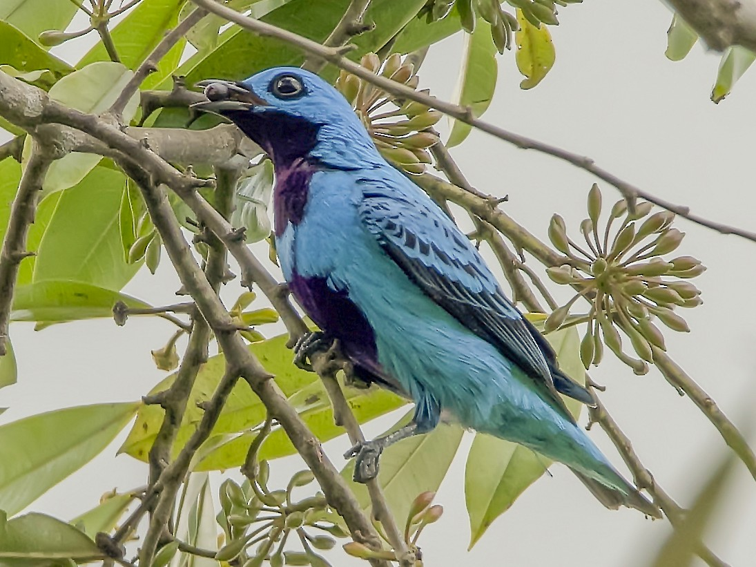 Turquoise Cotinga - Leandro Arias