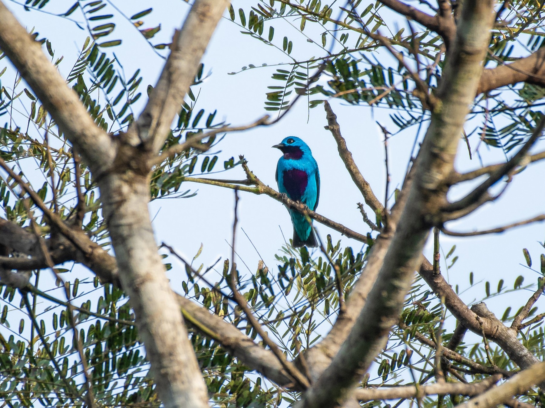 Turquoise Cotinga - Rio Dante