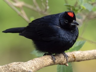 - Ruby-crowned Tanager