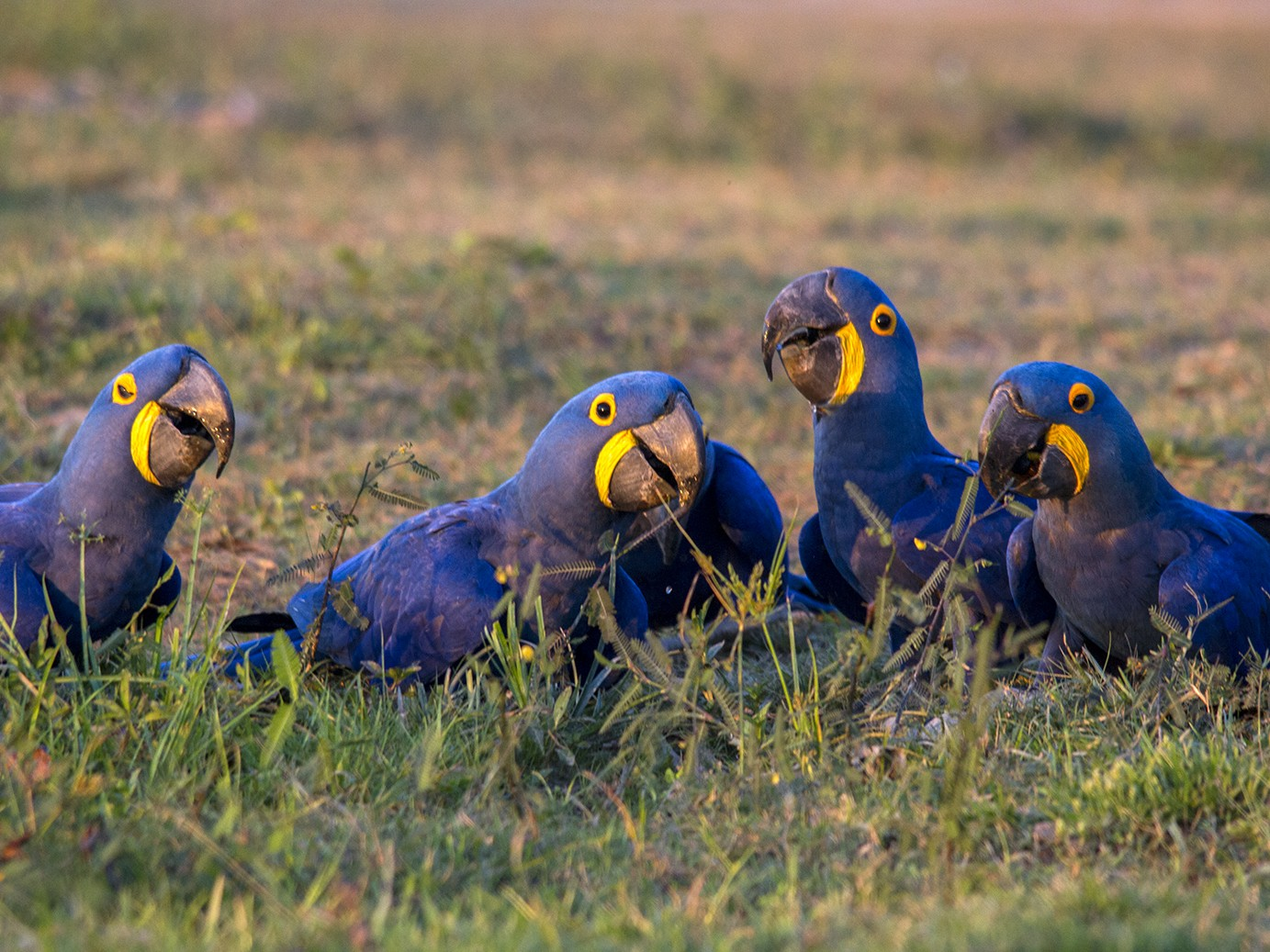 Hyacinth Macaw - Andres Vasquez Tropical Birding Tours