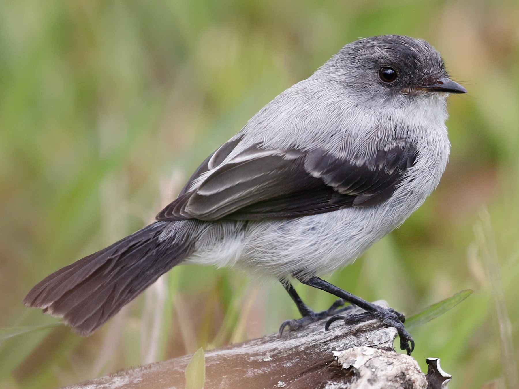 Torrent Tyrannulet - Joel Such