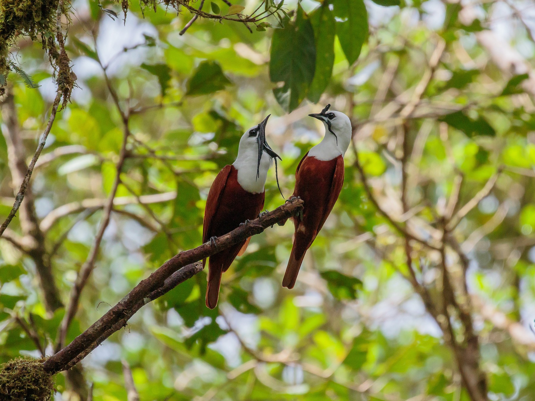 Three-wattled Bellbird - Martin  Flack