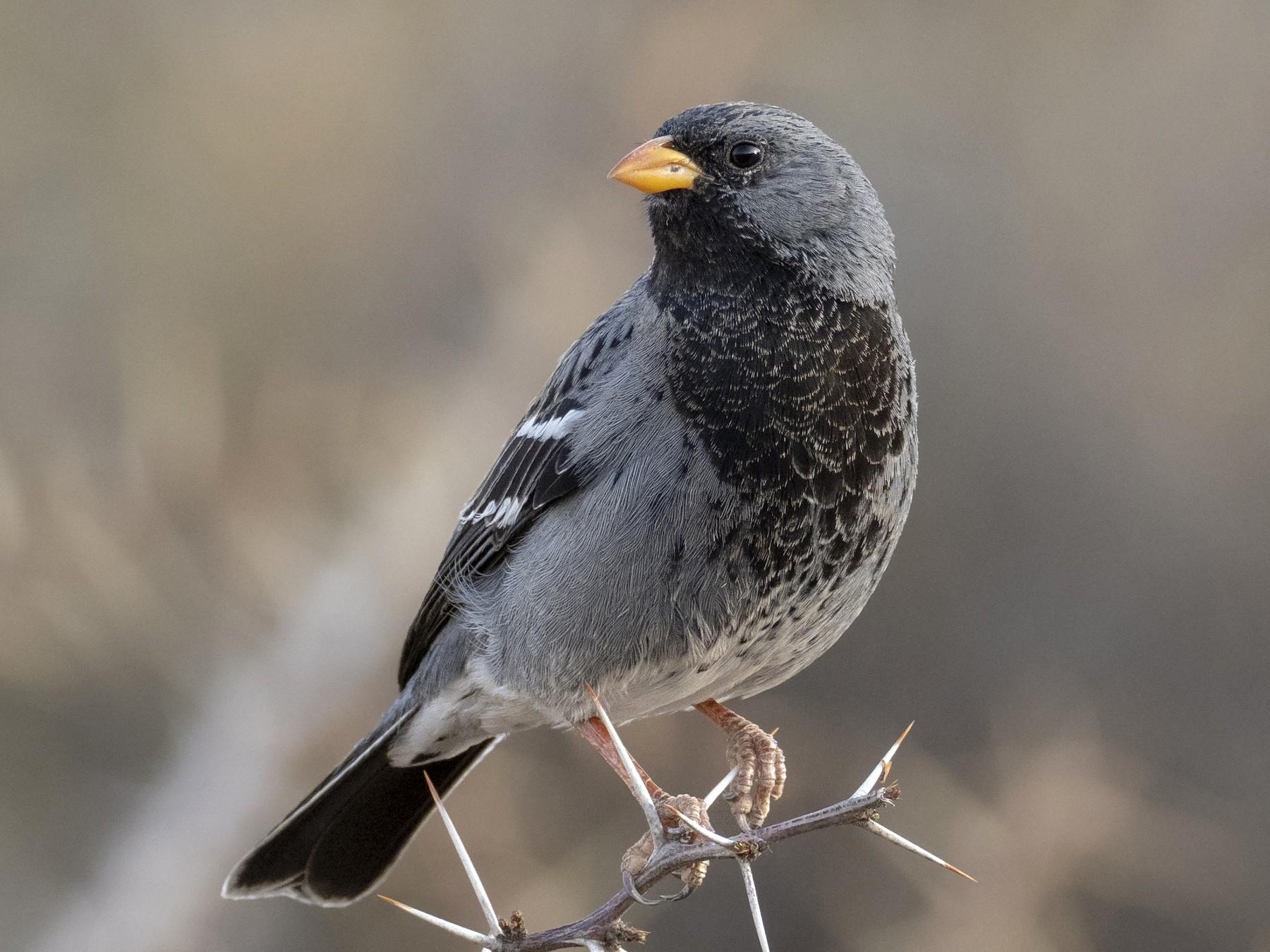 Mourning Sierra-Finch - Andres Vasquez Tropical Birding Tours