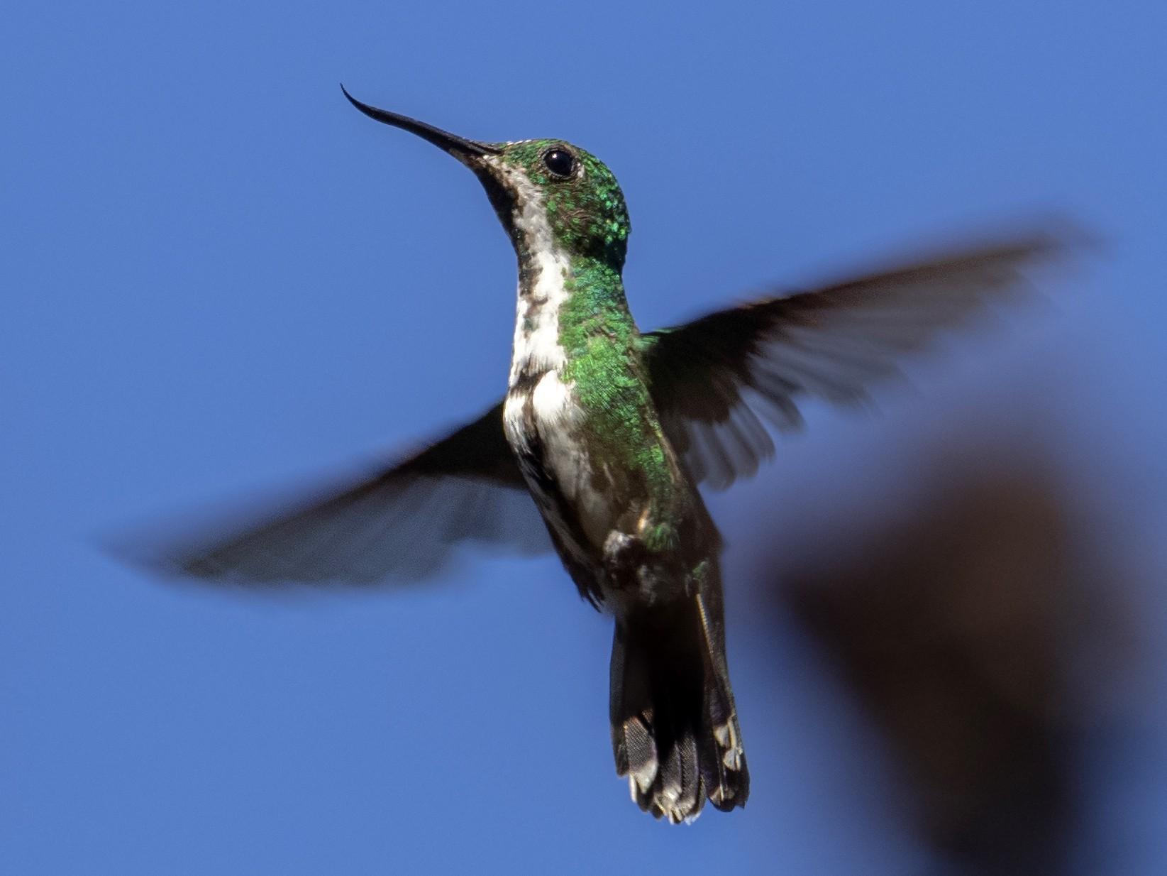 Fiery-tailed Awlbill - Andres Vasquez Noboa - Tropical Birding Tours