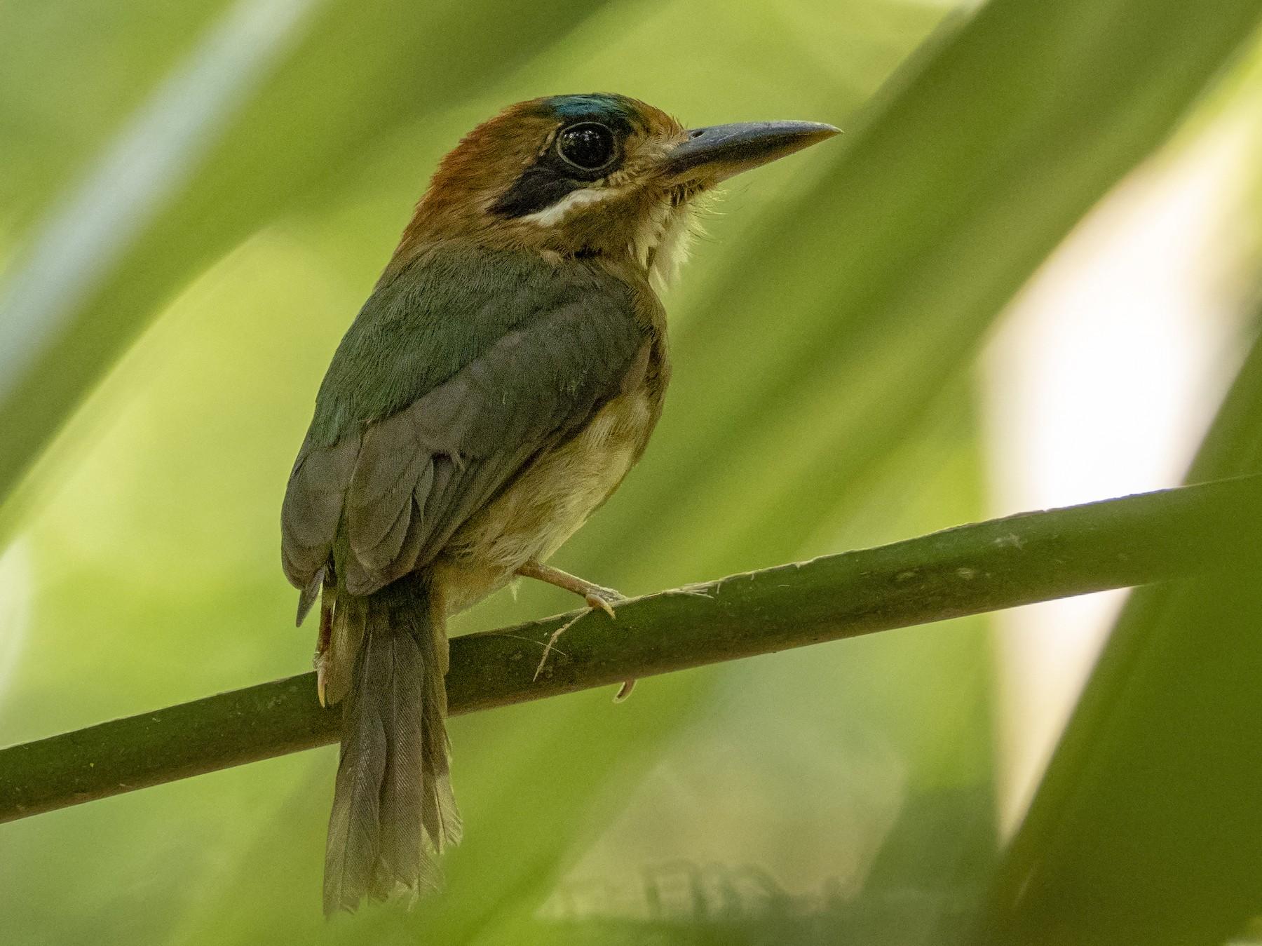 Tody Motmot - Andres Vasquez Noboa - Tropical Birding Tours