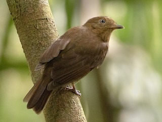 - Russet-winged Schiffornis