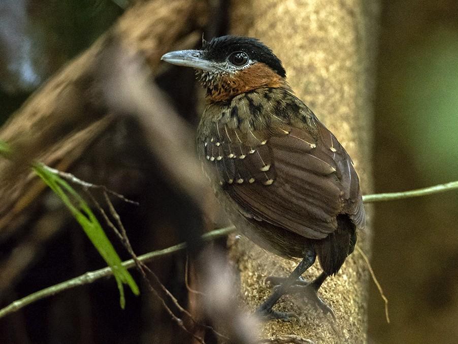 Black-crowned Antpitta - Andres Vasquez Noboa - Tropical Birding Tours