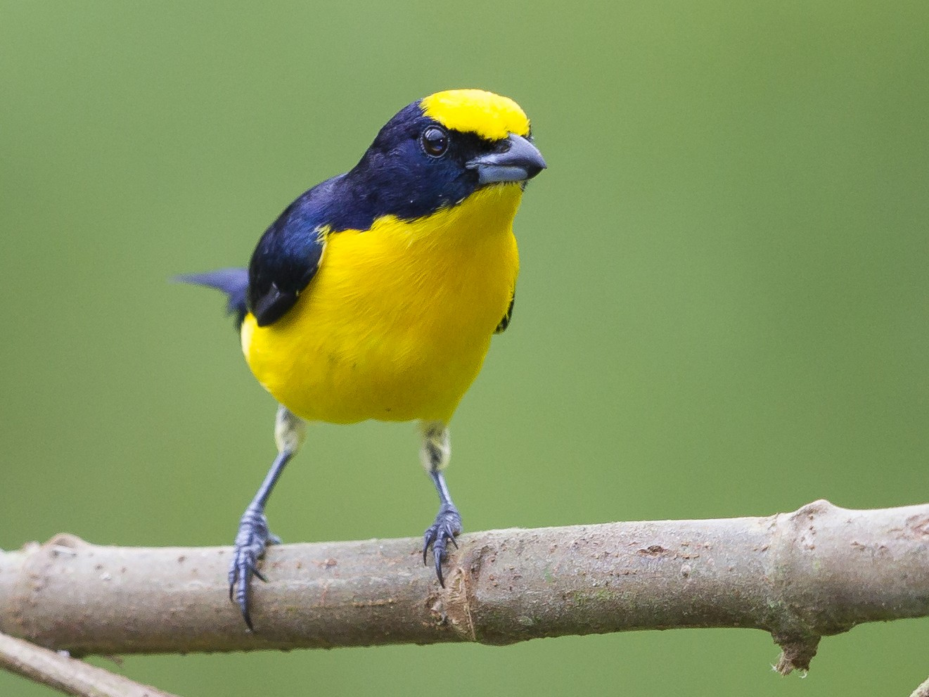 Thick-billed Euphonia - Peter Hawrylyshyn