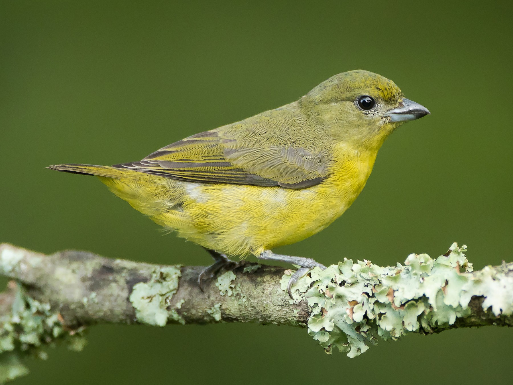 Thick-billed Euphonia - Dorian Anderson
