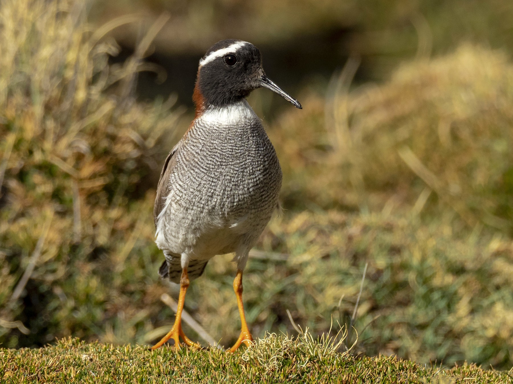 Diademed Sandpiper-Plover - Andres Vasquez Tropical Birding Tours