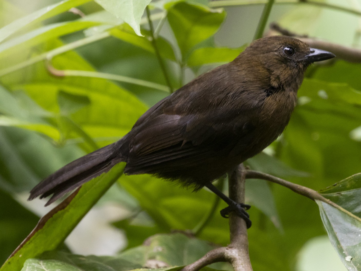 Tawny-crested Tanager - Marcelo Corella