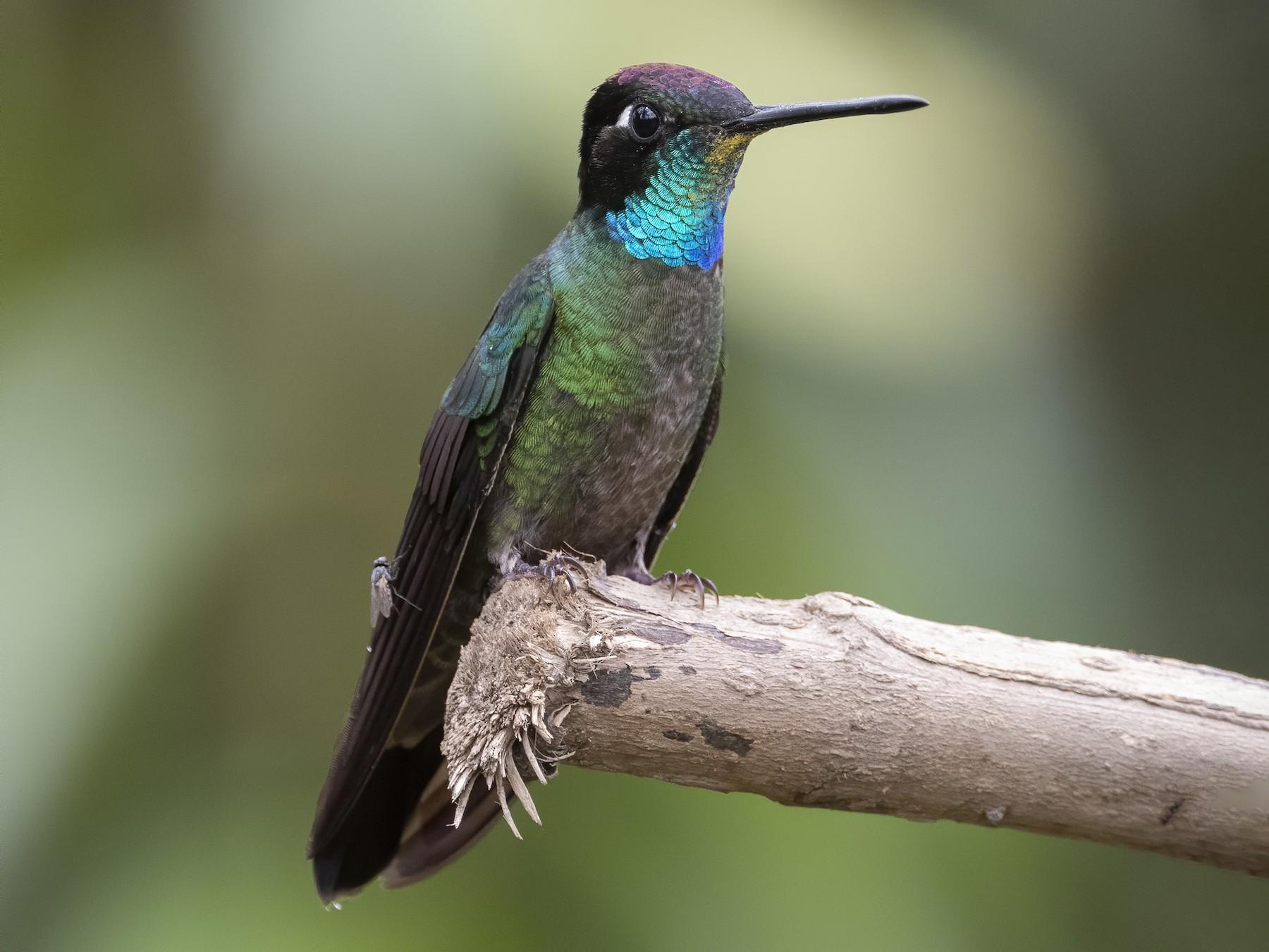 Talamanca Hummingbird - Peter Hawrylyshyn
