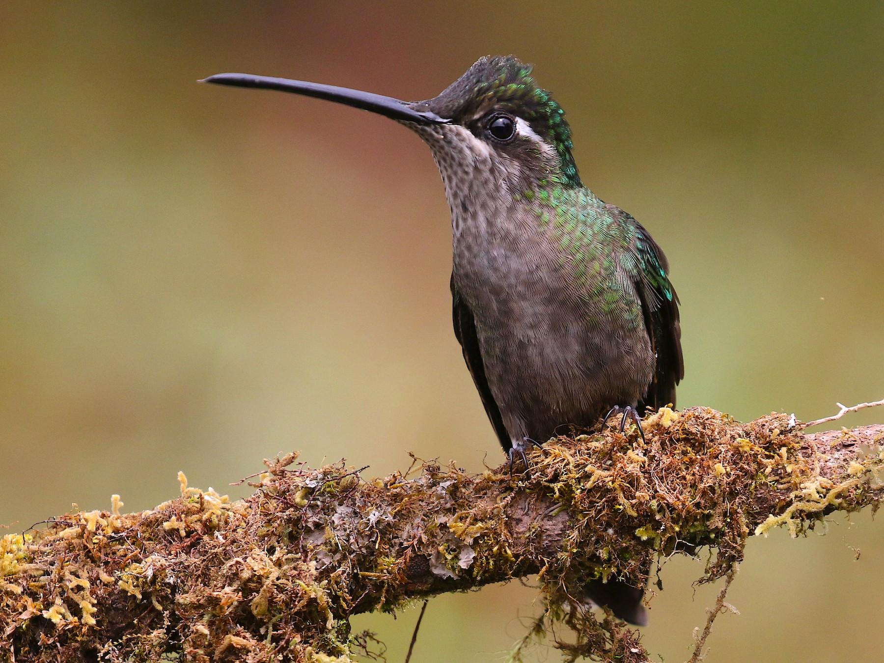 Talamanca Hummingbird - Arco Huang