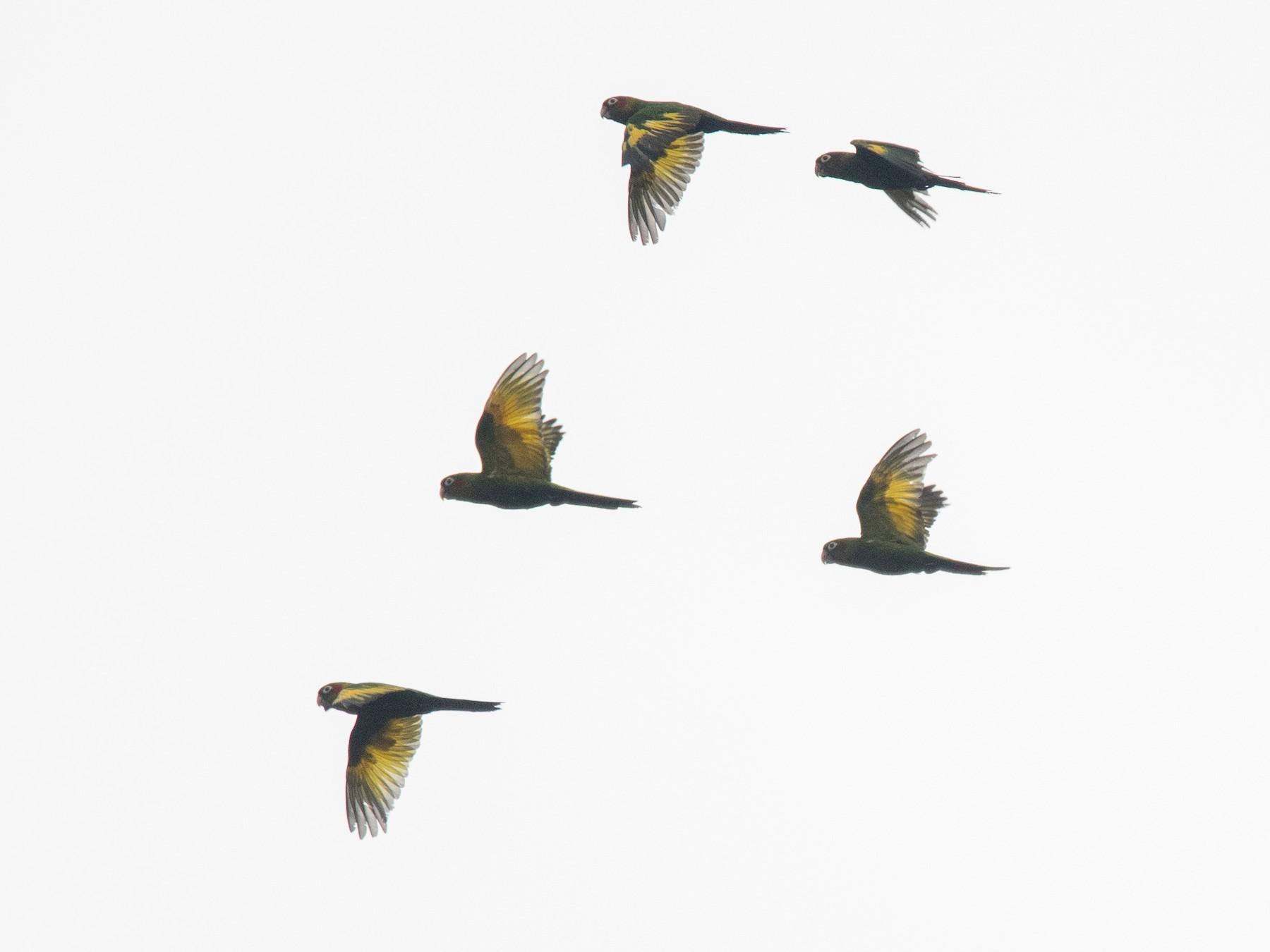 Sulphur-winged Parakeet - Graham Gerdeman