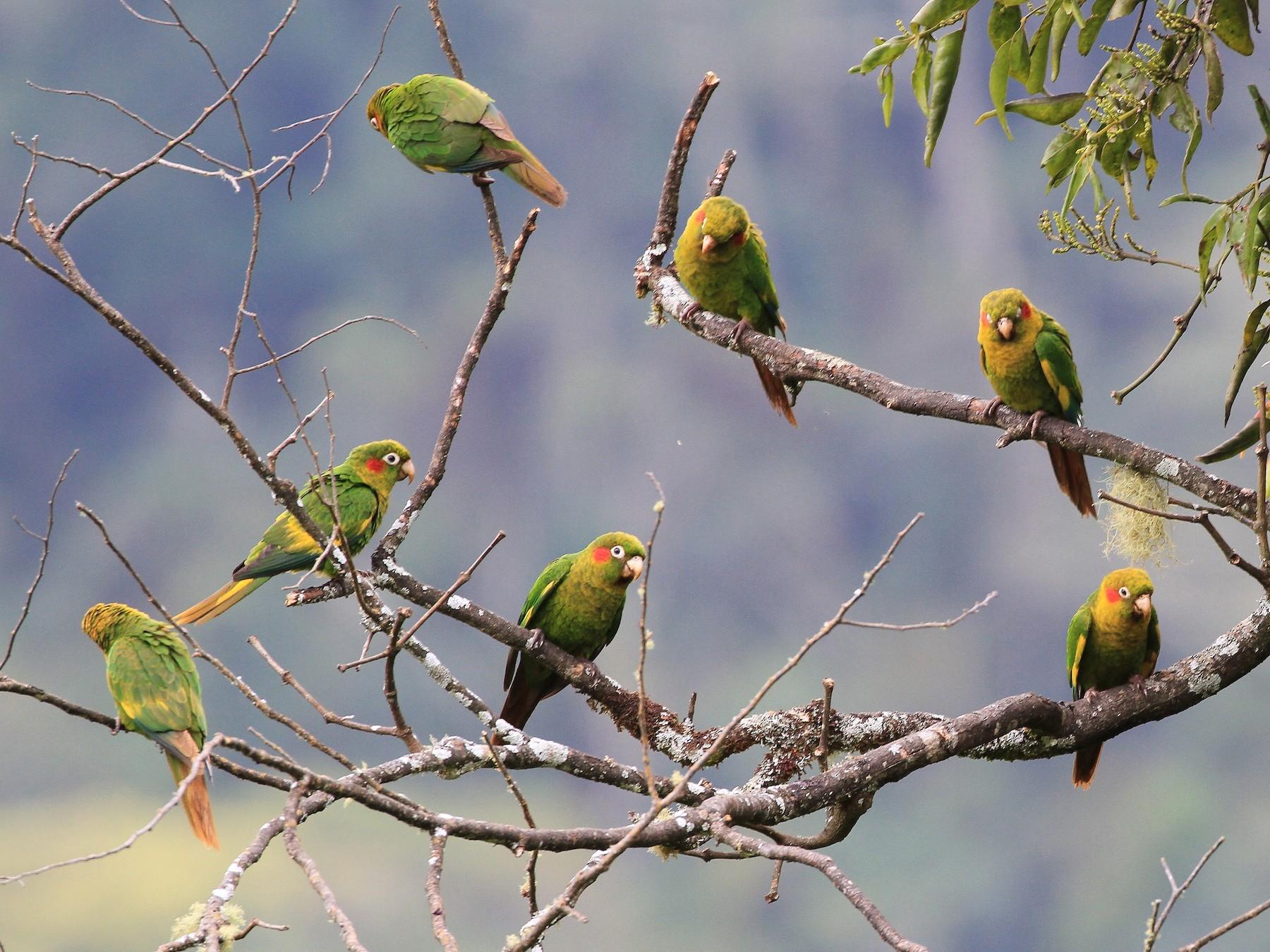 Sulphur-winged Parakeet - Diane St-Jacques