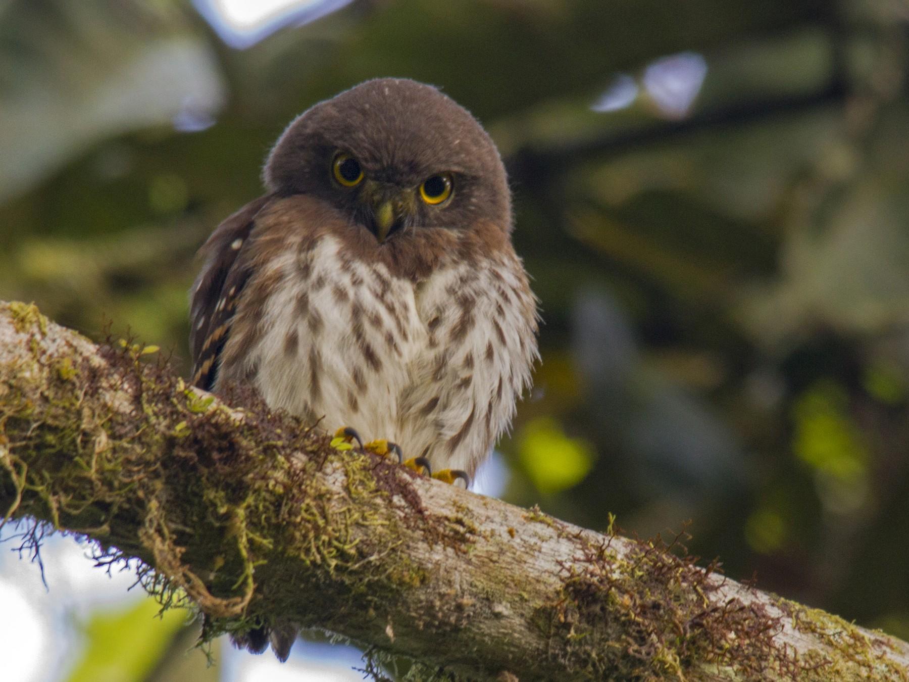 Cloud-forest Pygmy-Owl - Andres Vasquez