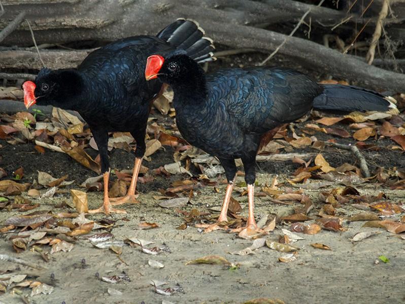 Razor-billed Curassow - Andres Vasquez Noboa - Tropical Birding Tours
