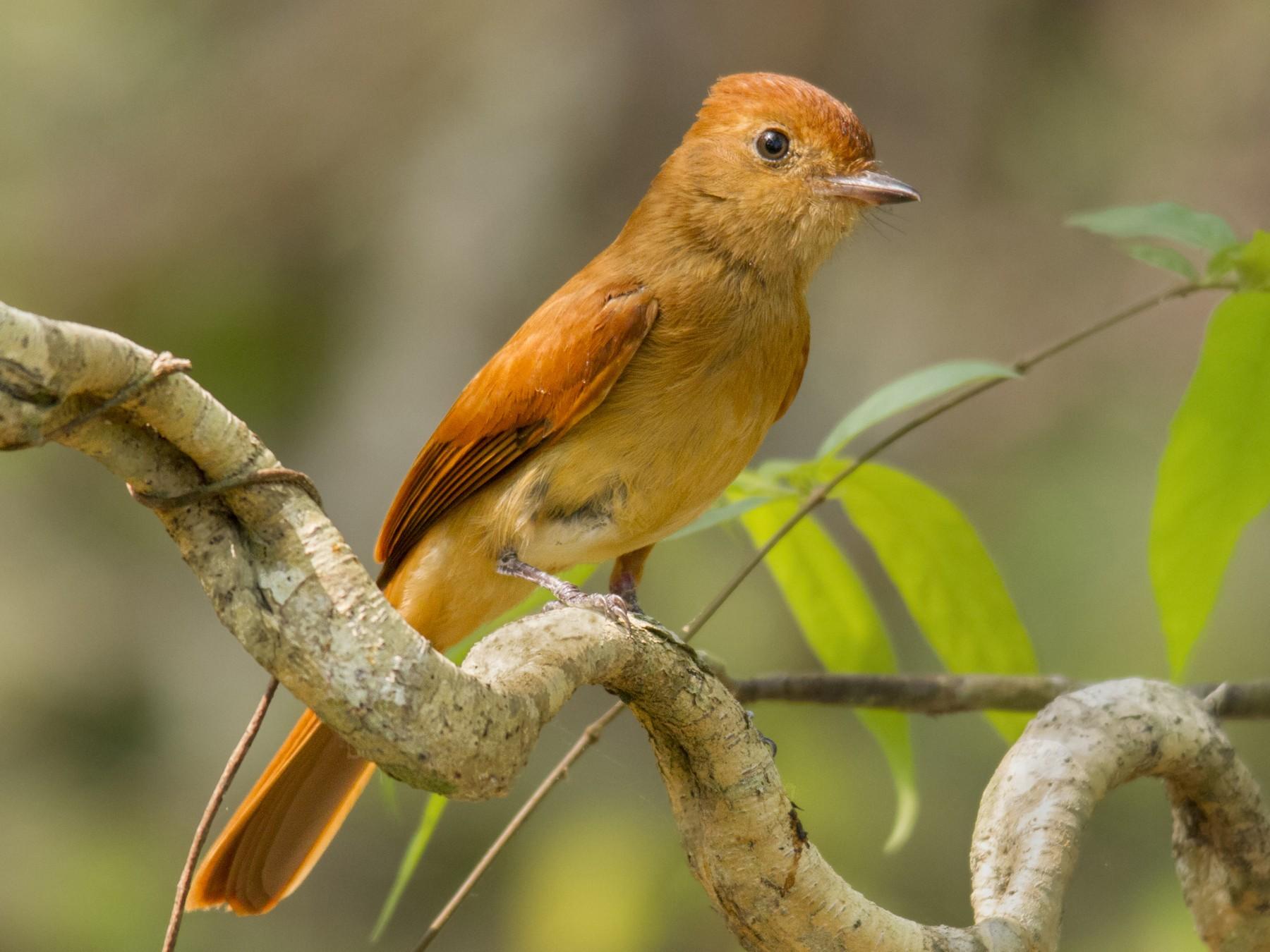 Rufous Casiornis - Andres Vasquez Tropical Birding Tours