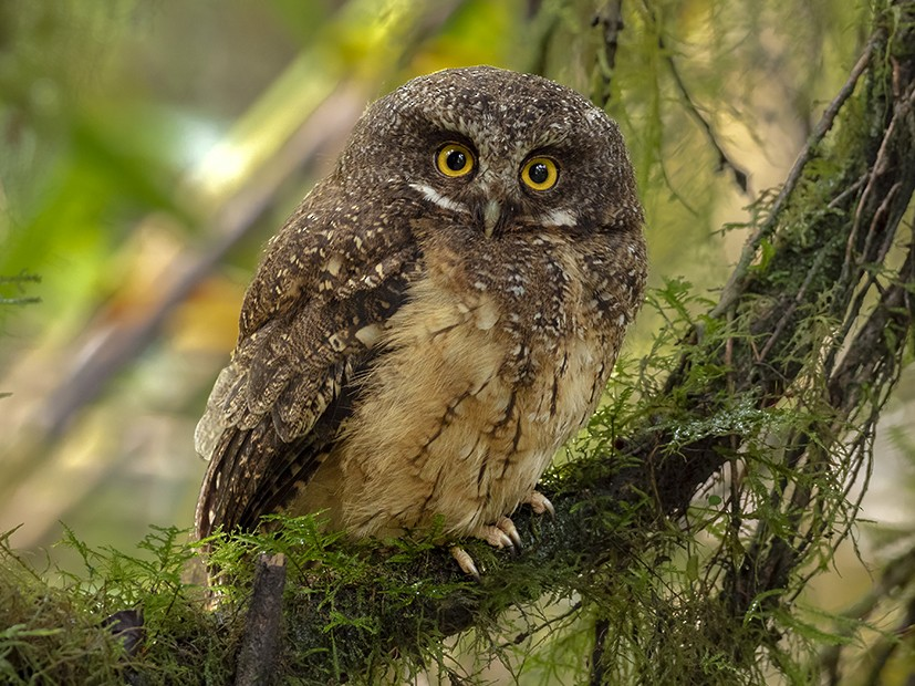 White-throated Screech-Owl - Andres Vasquez