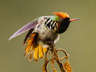 - Frilled Coquette