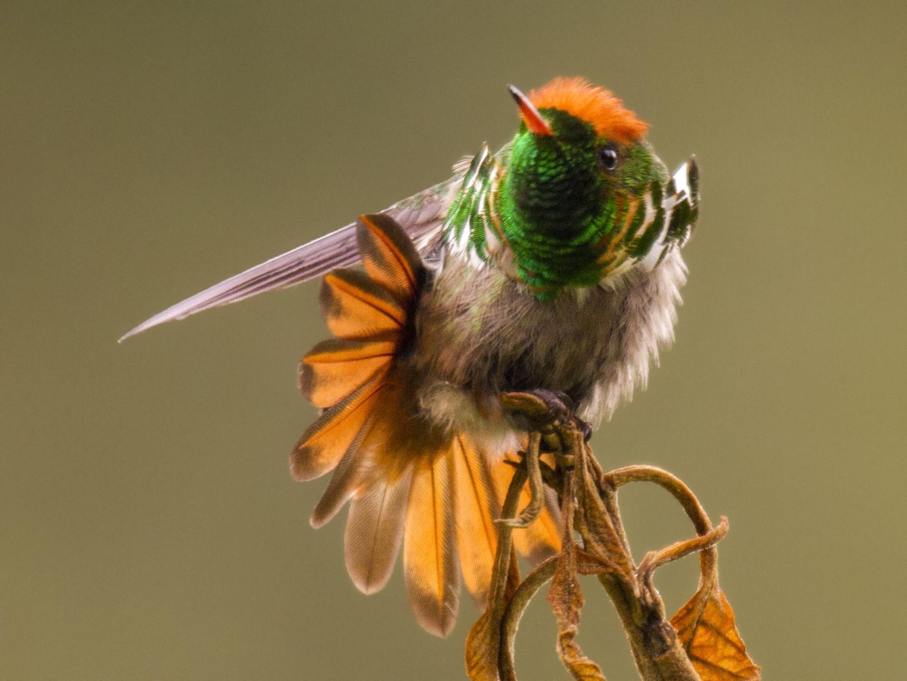 Frilled Coquette - Andres Vasquez Noboa - Tropical Birding Tours