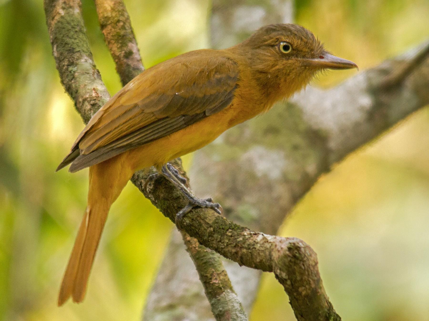 Dull-capped Attila - Andres Vasquez Tropical Birding Tours