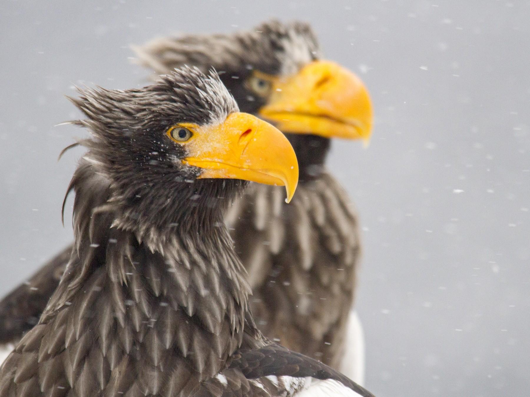 Steller's Sea-Eagle - Andres Vasquez