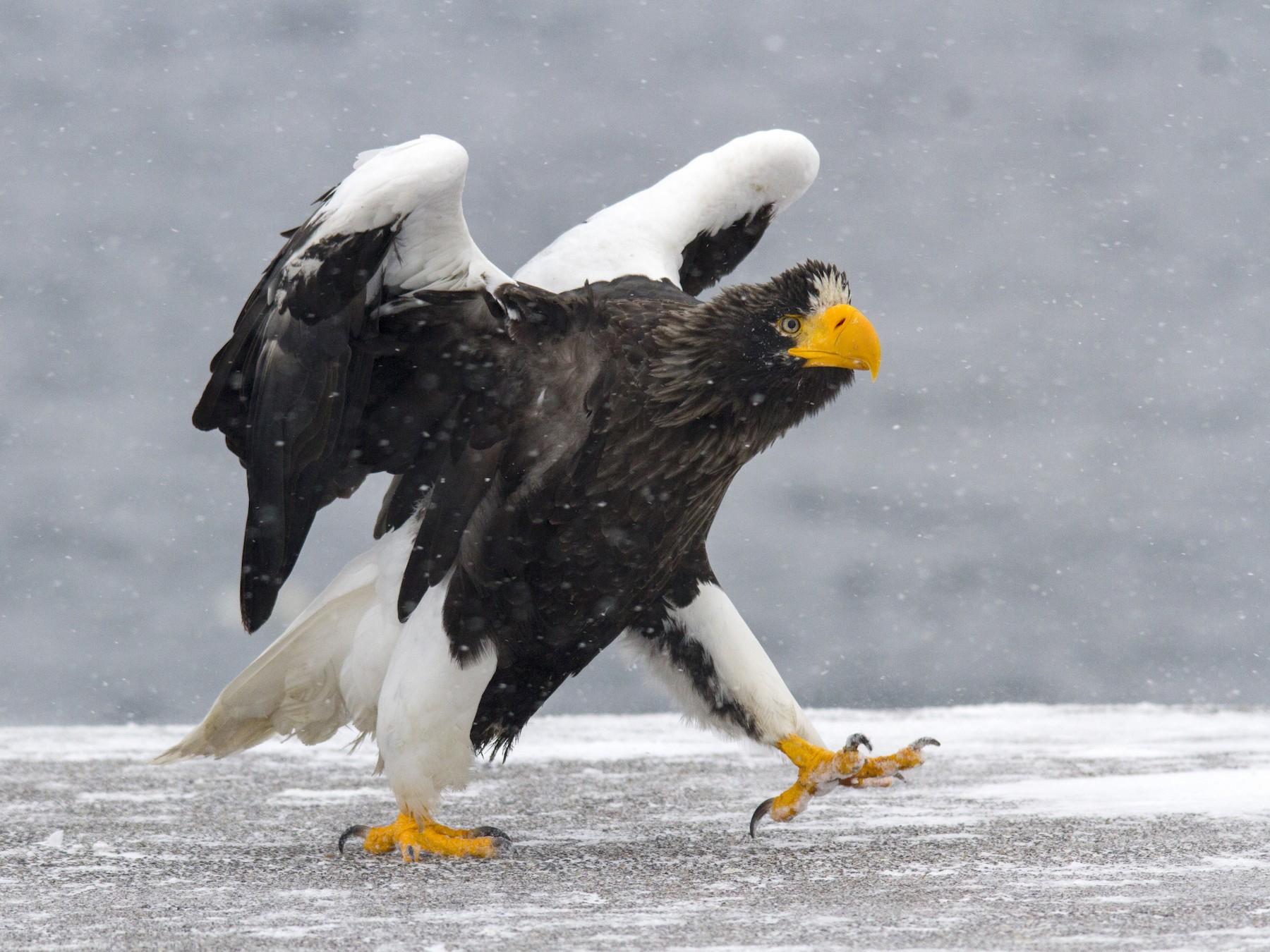 Steller's Sea-Eagle - Andres Vasquez Tropical Birding Tours