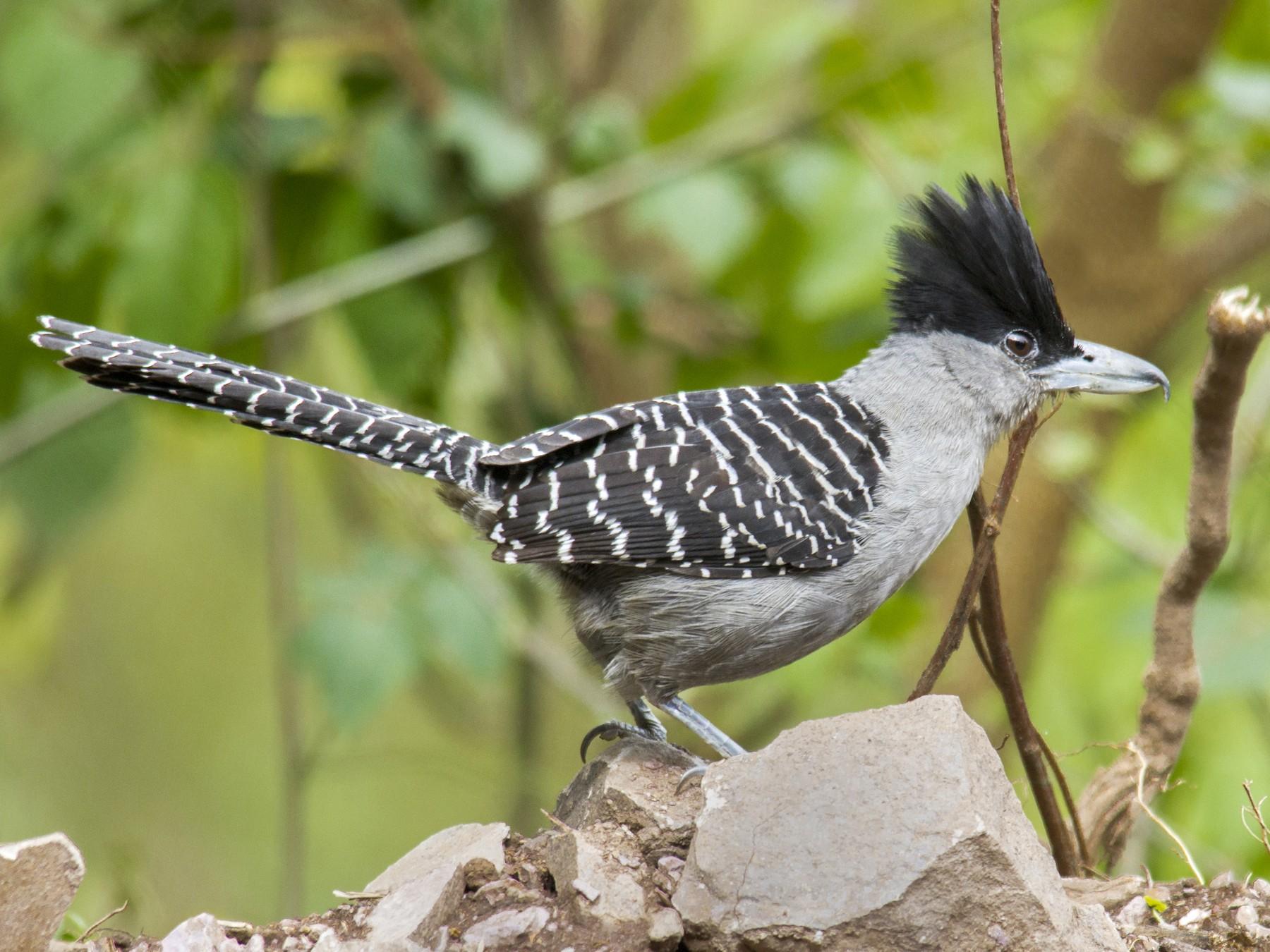 Giant Antshrike - Andres Vasquez Noboa - Tropical Birding Tours
