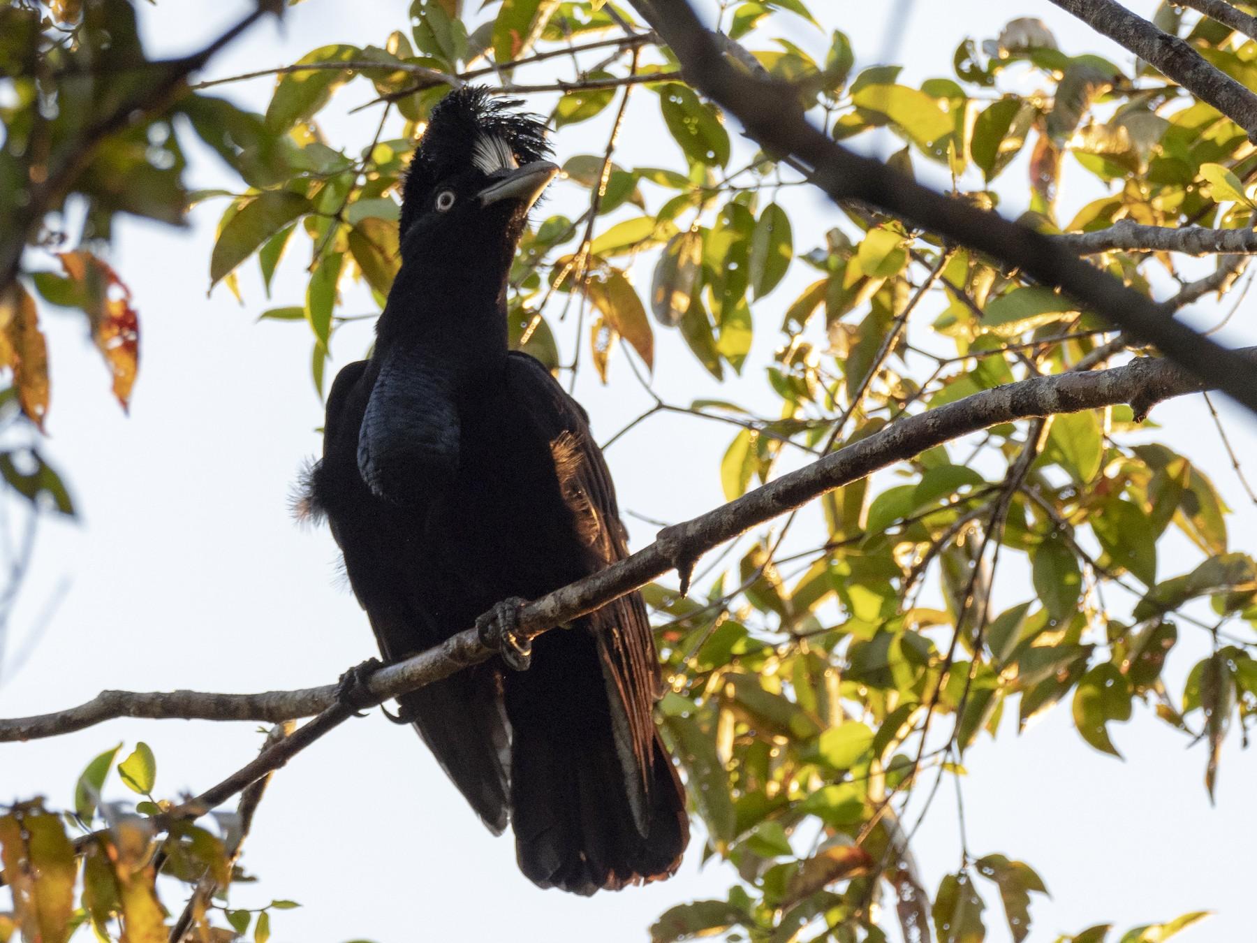 Amazonian Umbrellabird - Andres Vasquez Noboa - Tropical Birding Tours