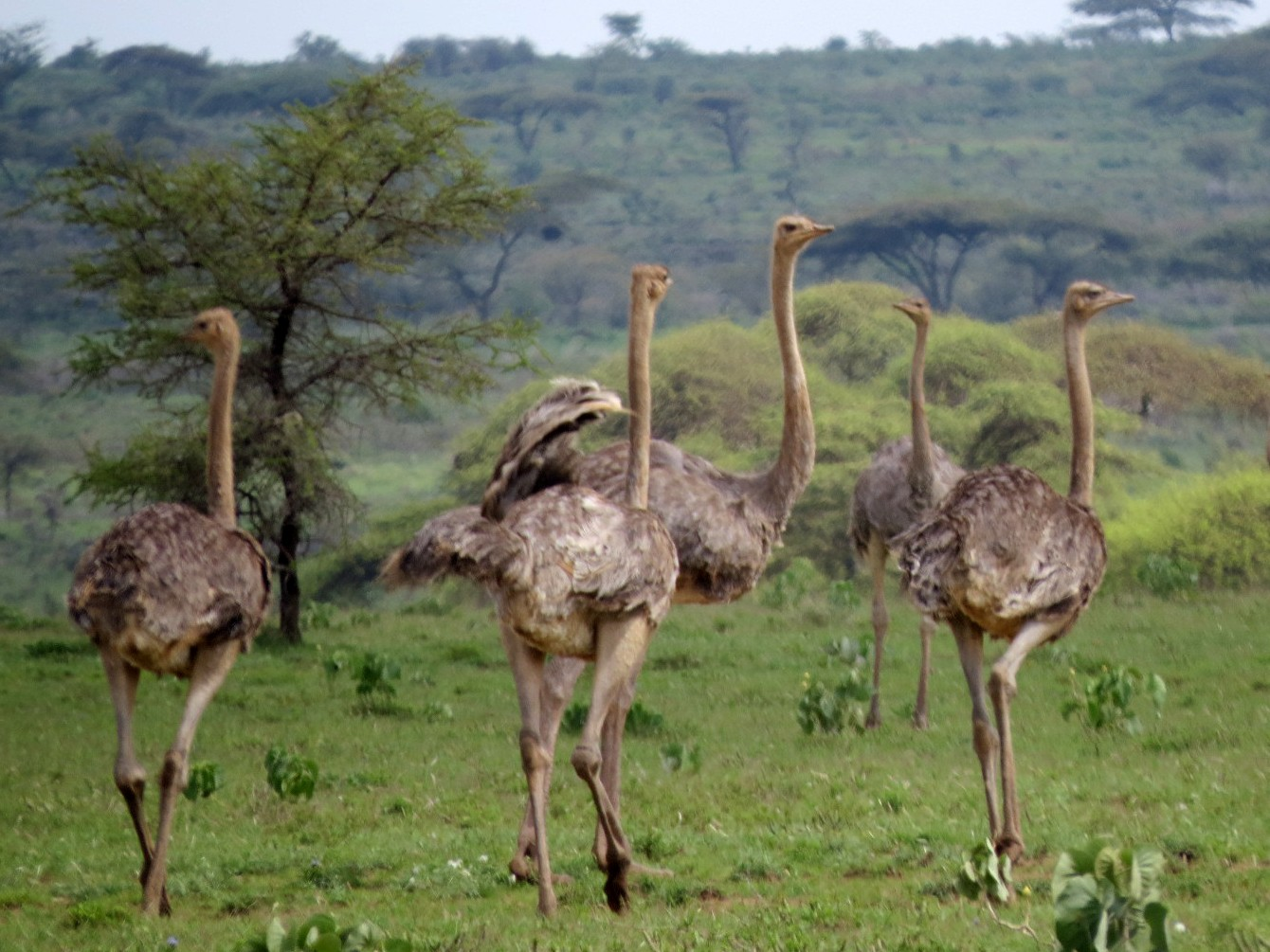 Somali Ostrich - Bruce Barrett