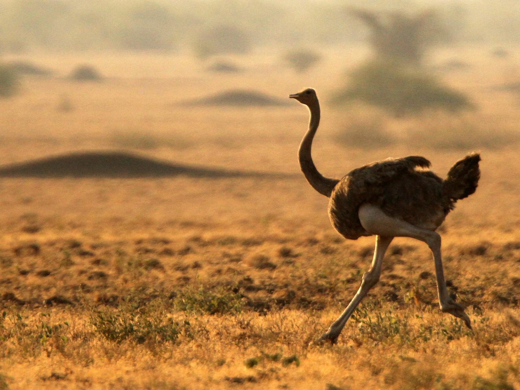 Somali Ostrich - Luke Seitz