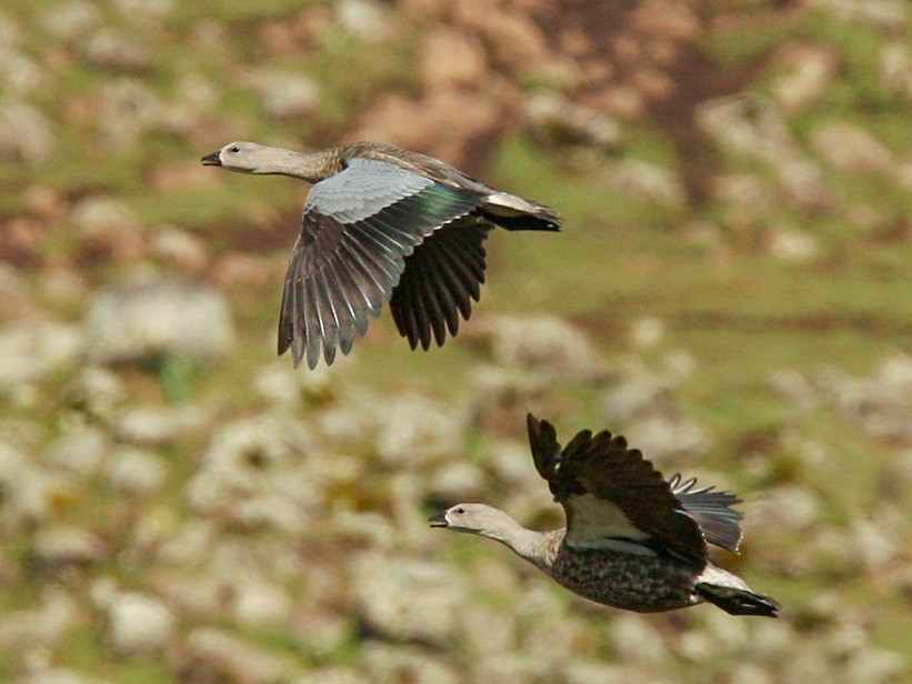Blue-winged Goose - Lars Petersson