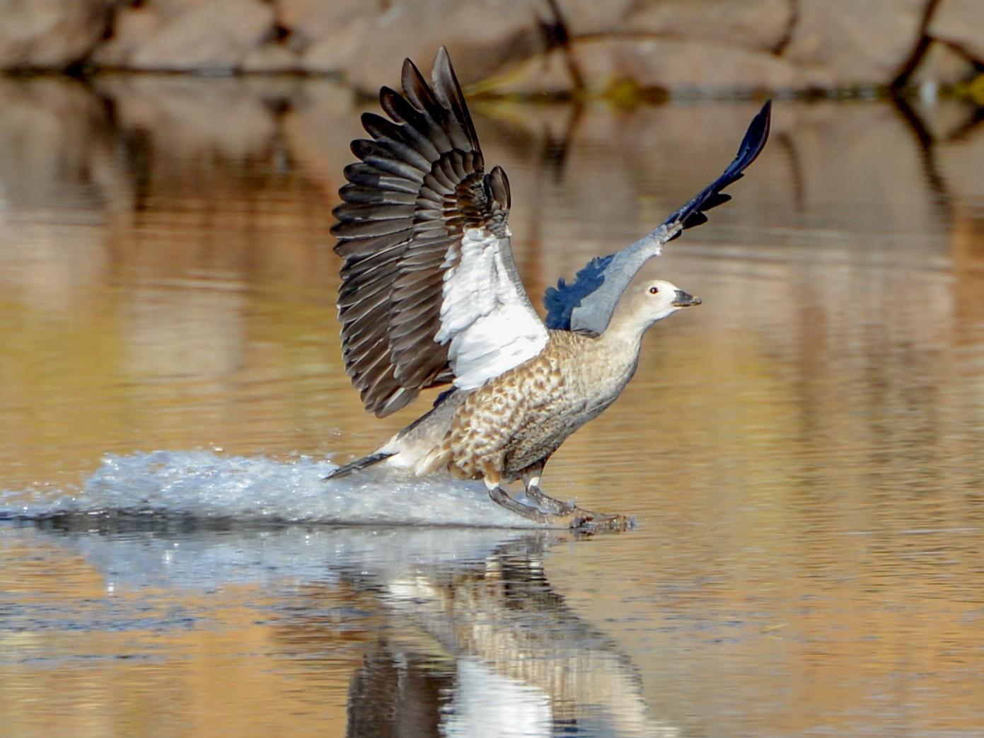 Blue-winged Goose - Adriana Dinu