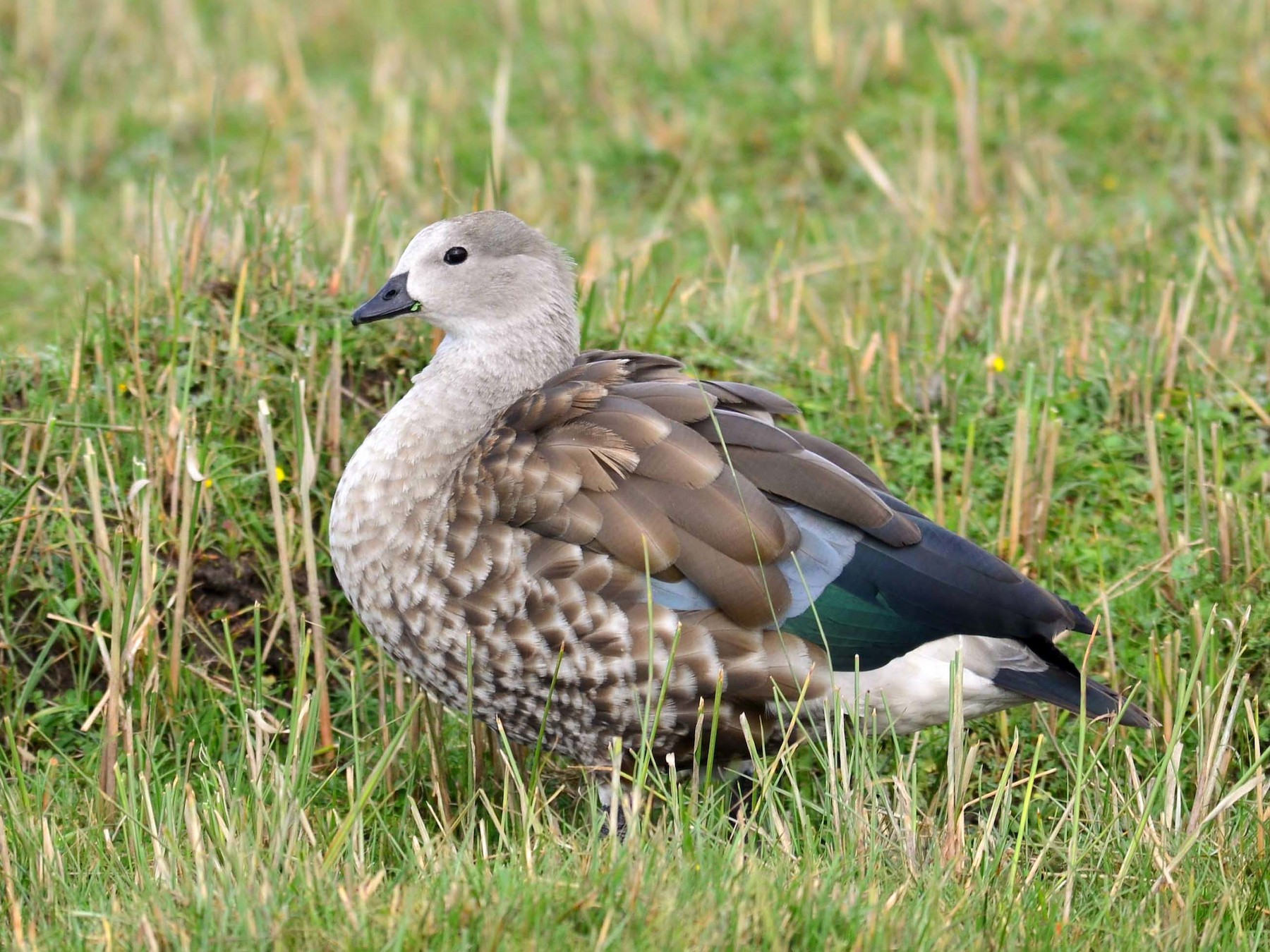 Blue-winged Goose - Paul Noakes