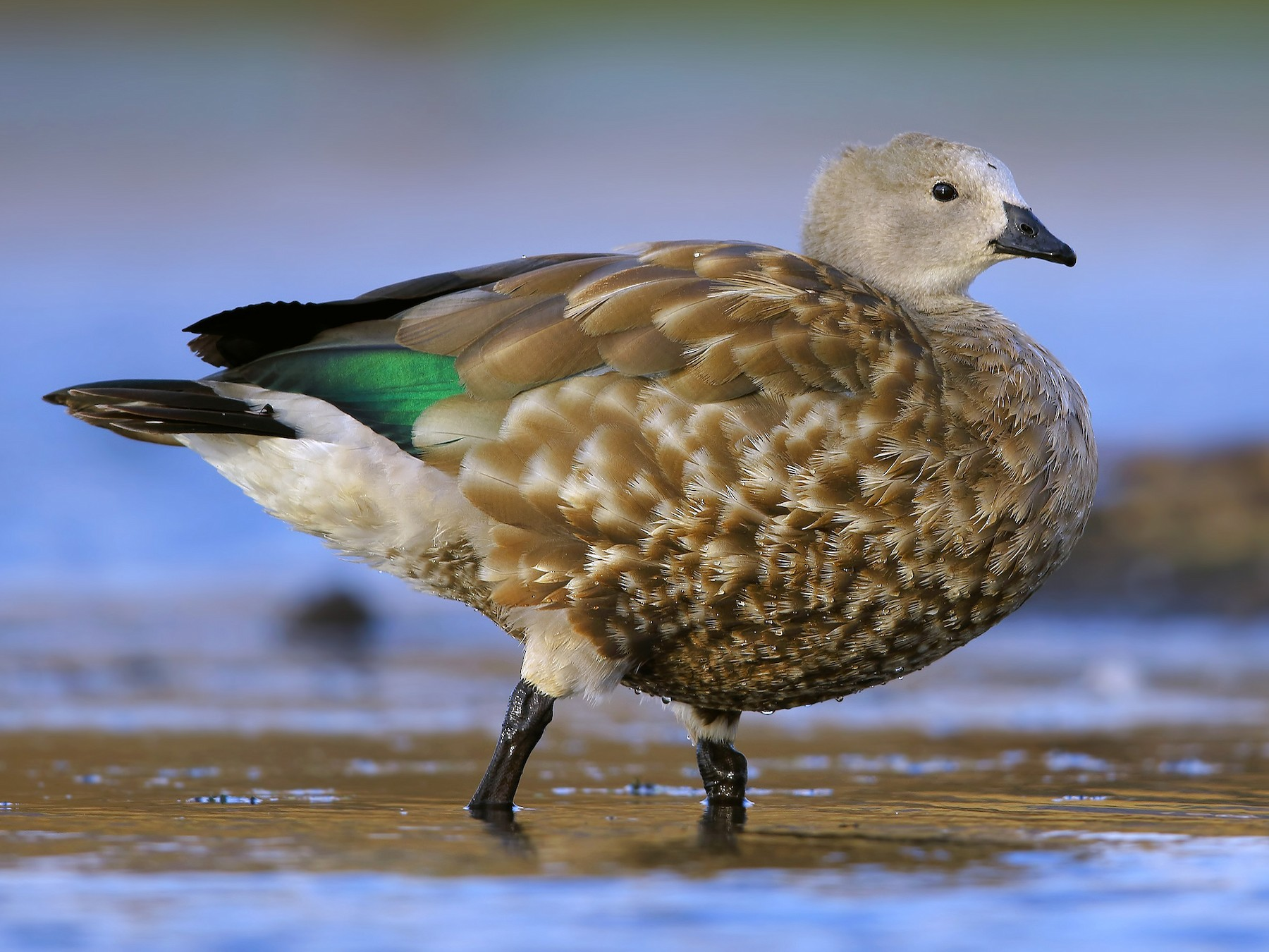 Blue-winged Goose - Prof.Dr. Ahmet Karatash