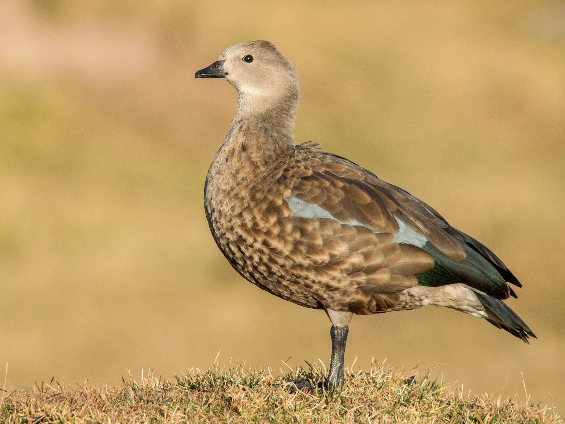 Blue-winged Goose - Ian Davies